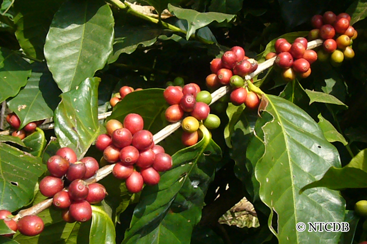 Ripe Coffee Cherries of Nepal