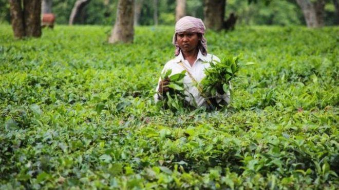 नेपाली चिया: प्रशोधन गर्न चिनियाँ उपकरण, साना किसानको उत्पादन पनि विदेश निर्यात