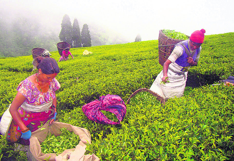 Export of Nepali tea as of third quarter of current year surpasses the amount in 2019/20