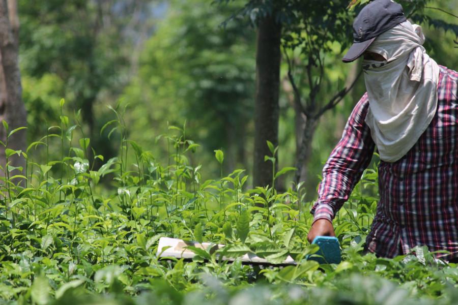 बन्दाबन्दीले चिया क्षेत्रमा लाखौँ घाटा : न श्रमिकलाई तलब, न त चियाकै बिक्री